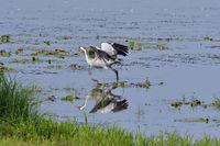 Common crane in saxon
