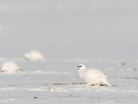 Svalbard Rock ptarmigan, Lagopus muta hyperborea, bird with winter plumage, in the snow at Svalbard
