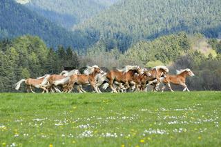 Haflinger, Junghengstherde