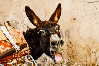 donkey in front of wall, photo as background