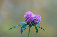 Red cclover
