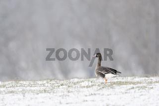 Schnee am Niederrhein... Blässgans *Anser albifrons*