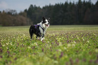 Young border collie in a flower meadow