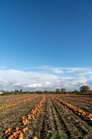 Pumpkin field in autumn