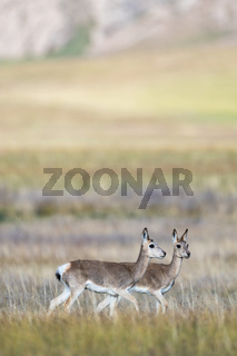 tibetan gazelles on three river source region