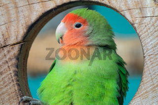 Lilian's lovebird green exotic parrot bird