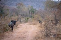 Blue wildebeest standing in the road.
