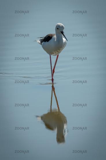 Black-winged stilt walks through lake towards camera