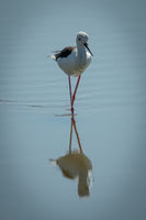 Black-winged stilt walks through lake towards camera
