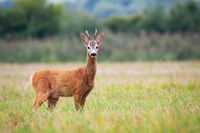 Roe deer is keeping a wary eye on the grassy meadow