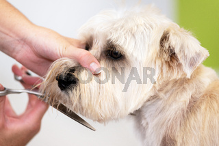 Beautiful dog, close up getting his hair cut by scissors at the groomer salon.