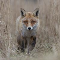 Red Fox * Vulpes vulpes * walking on a fox path through high, dry reed grass, frontal shot