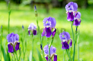 Flowers iris in the garden. Spring flower iris shot in clear sun on green background of natural gras