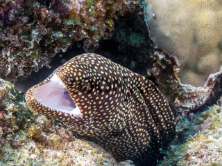 Abbotts Muräne (Gymnothorax eurostus)