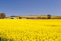 Canola Fields Near Creswick in Victoria Australia