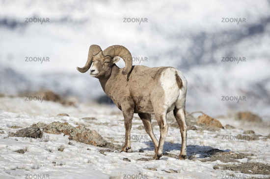 Rocky Mountain Bighorn Sheep * Ovis canadensis * in winter