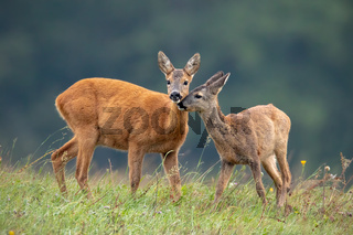 Intimate moment between mother roe deer doe and fawn