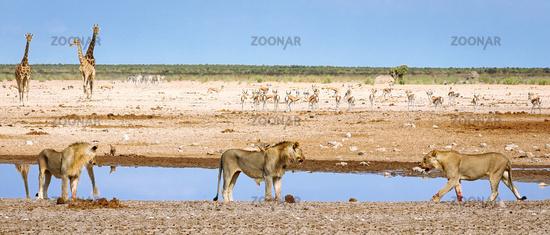lions at a waterhole, Etosha National Park, Namibia, (Panthera leo)