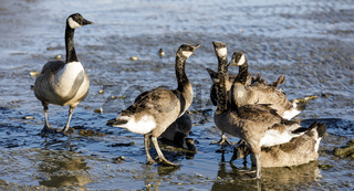 Canada Goose Parent Watches Over Young Ones.