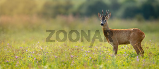 Wide panoramic banner of roe deer buck standing on a meadow in summer at sunset