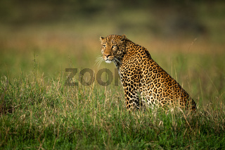 Male leopard sits staring in long grass