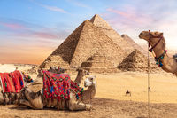Camels near the Pyramids of Giza, Egypt