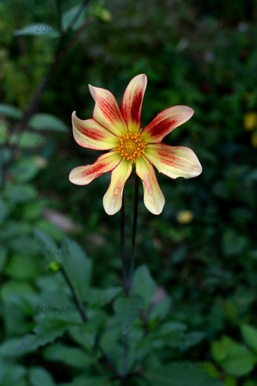 dahlia flower, flamed red yellow