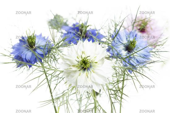 love-in-a-mist flower, Nigella damascena