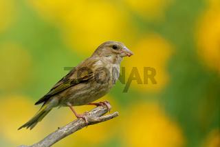 Gruenfink  im Sommer