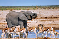 elephant at the waterhole, Etosha National Park, Namibia, (Loxodonta africana)