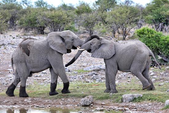 fighting elephants, Etosha National Park, Namibia, (Loxodonta africana)