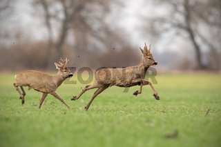 Two wild roe deer bucks chasing each other in spring nature.