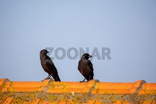 Dohlen (Corvus monedula)