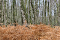 Totes Moor (Dead Moor) - Birch forest with bracken, Germany