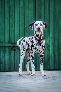 Young dalmatian dog in the front of a wooden door