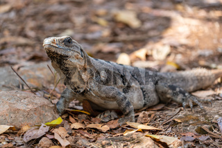 Mexican iguana - camouflage effect on the ground