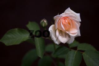 fresh pastel rose blossom with bud on dark background