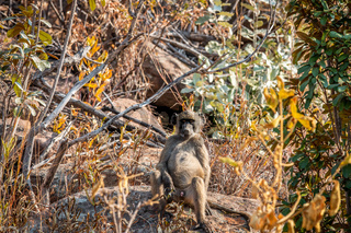 Chacma baboon sitting on a rock.