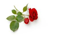 Red Roses lies on white background