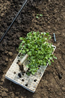 Seedlings in crates on the agriculture land. Planting broccoli in industrial farm.