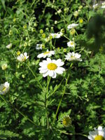 Blooming tanacedum parthenium (feverfew) plant in a garden