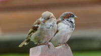 A pair of sparrows are watching the surroundings