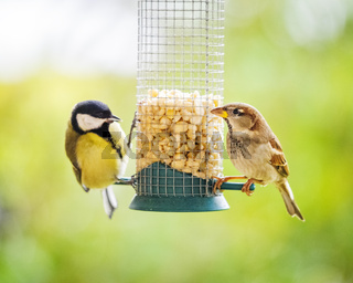 Tit and Sparrow at a feeder in winter