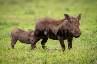 Young warthog suckling from mother on grassland