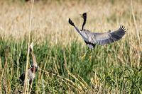 Purple heron on the nest