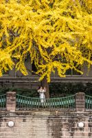 Young woman taking photos of yellow leaves on gingko trees