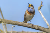 White-spotted bluethroat (Luscinia svecica)