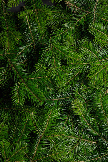 Background of green fir branches