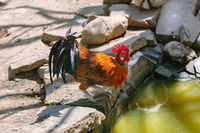Rooster on the Stone