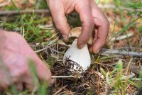 Hand is ripping off a Mushroom boletus. Mushroom collecting Season. Porcini Mushrooms. Mushroom picking in the forest.